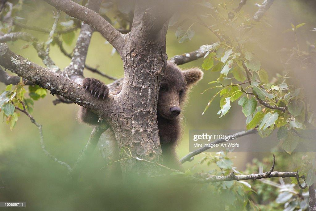 Brown bear cub climbing a tree, Katmai National Park, Alaska, USA : Stock Photo