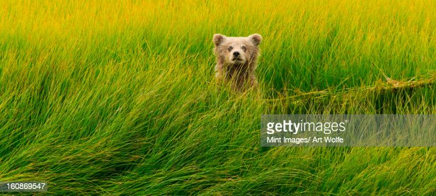 Brown bear cub, Lake Clark National Park, Alaska, USA : Photo