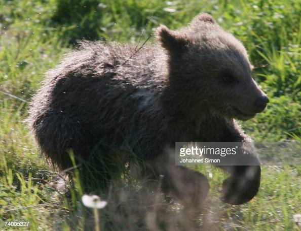 A brown bear cub plays at a wildlife park on April 27 in Poing Germany There is a discussion in Bavaria over reintroducing bears into the wild since...