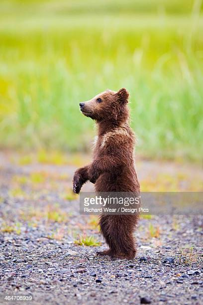 Brown Bear Cub Standing At Lake Clarke National Park