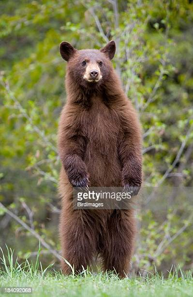 Brown bear cub standing on hind legs