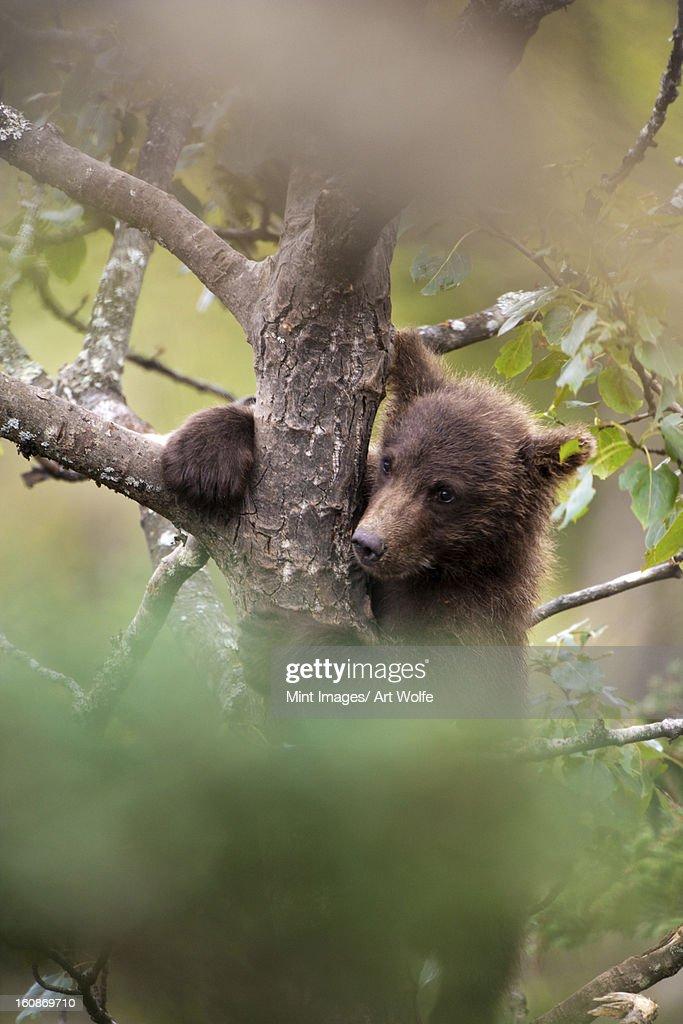Brown bear cub, Ursus arctos climbing a tree, Katmai National Park, Alaska, USA : Stock Photo