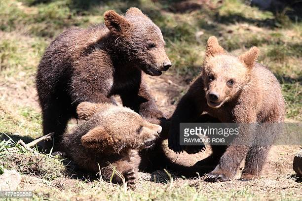 Brown bear cubs are pictured on June 18 2015 in the semiwildlife animal park of Les Angles southwestern France AFP PHOTO / RAYMOND ROIG