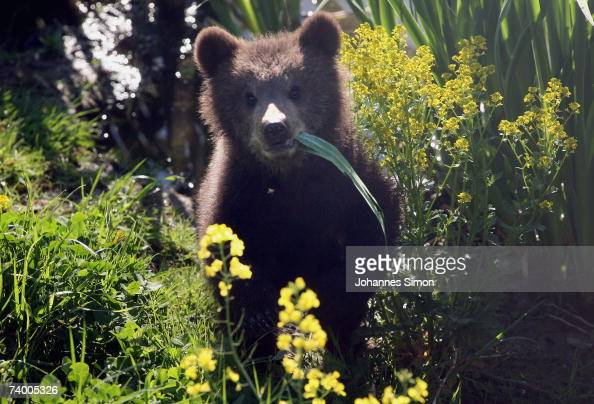 Brown bear cubs play with their mother Mia at a wildlife park on April 27 in Poing Germany There is a discussion in Bavaria over reintroducing bears...
