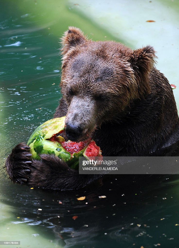A Brown bear (Ursus arctos) eats watermelon whilst cooling itself down in a pool at the zoo in Rio de Janeiro, on January 9, 2013.