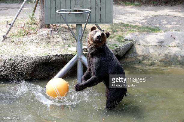 A brown bear enjoys water during the summer season to get by the heat at the Everland Amusement Park on June 21 2017 in Yongin South Korea
