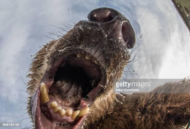 Brown bear extreme close-up underwater portrait