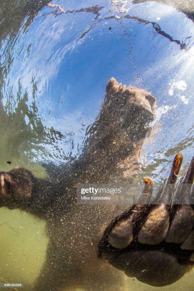 Brown bear extreme close-up underwater portrait : Stock Photo