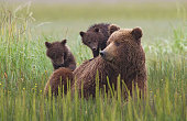Mother bear and 2 cubs in Alaska.