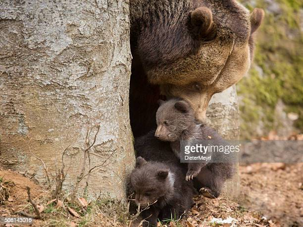 Brown bear familia