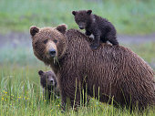 Alaskan Brown Bear Cubs with Mother.  Spring cub enjoys riding on Mothers Back.  Photographed in Lake Clarke National Park, Alaska.