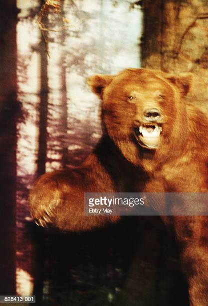 Brown bear (Ursus arctos) growling, close-up (blurred motion)