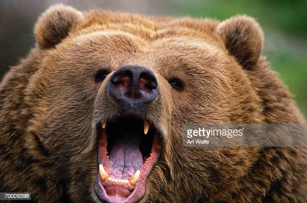 Brown Bear (Ursus arctos) growling, Kodiak Island, Alaska