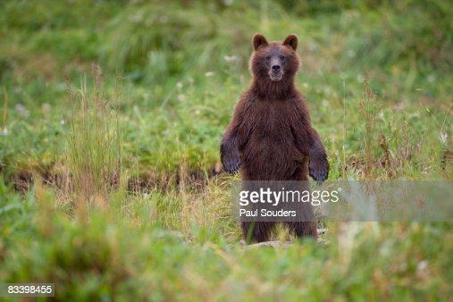 Brown Bear in Coastal Meadow, Pybus Bay, Alaska