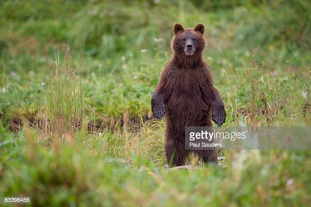 Brown Bear in Coastal Meadow, Pybus Bay, Alaska