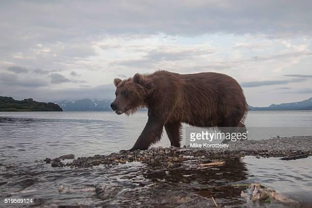 Brown bear, Kamchatka, Russia