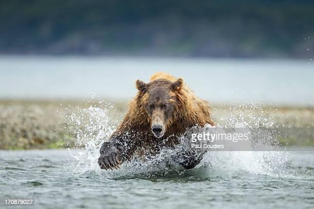 Brown Bear, Katmai National Park, Alaska