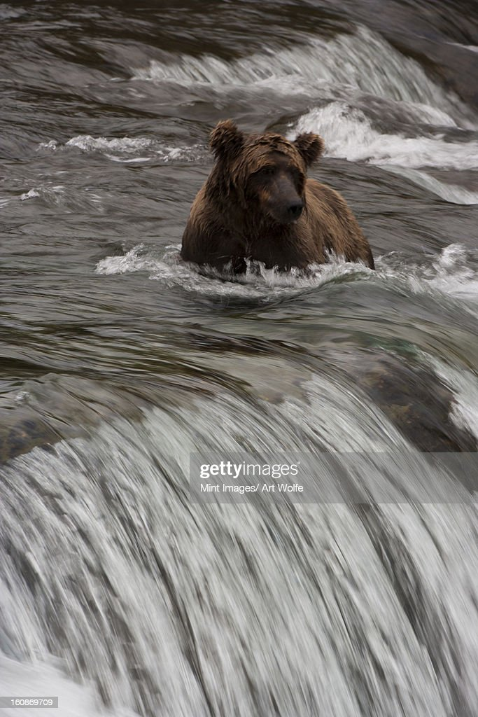 Brown bear, Katmai National Park, Alaska, USA : Stock Photo