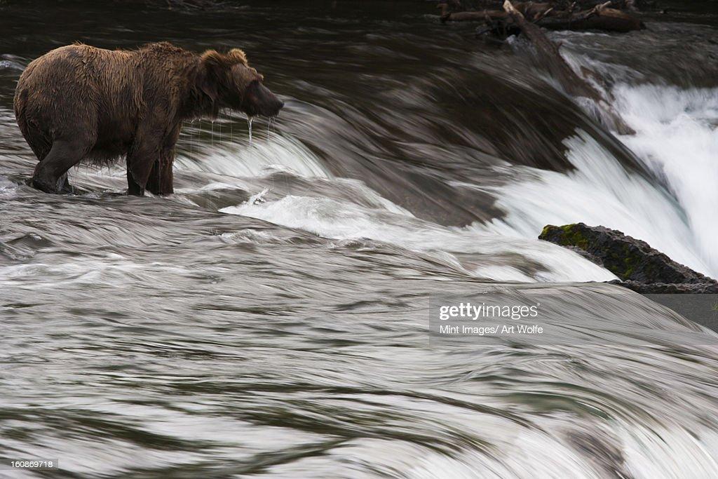 Brown bear, Katmai National Park, Alaska, USA : Stock Photo