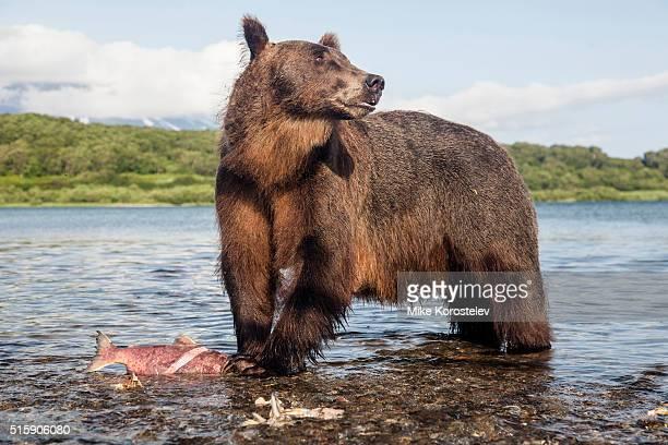 Brown Bear, Kuril Lake