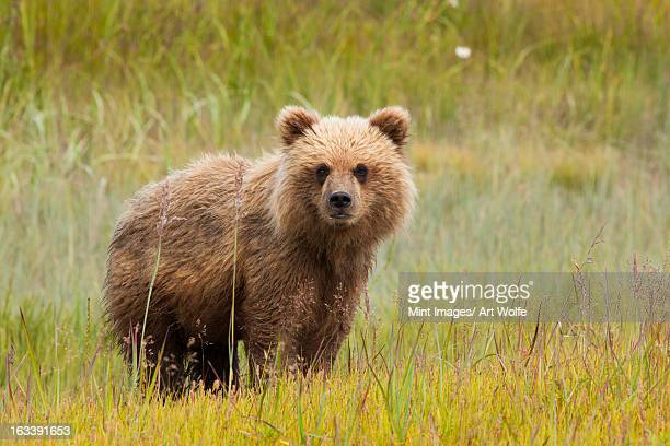 Brown bear, Lake Clark National Park, Alaska, USA