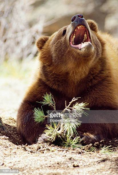 Brown bear lying down growling