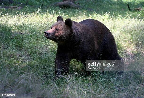 Brown bear on the prowl