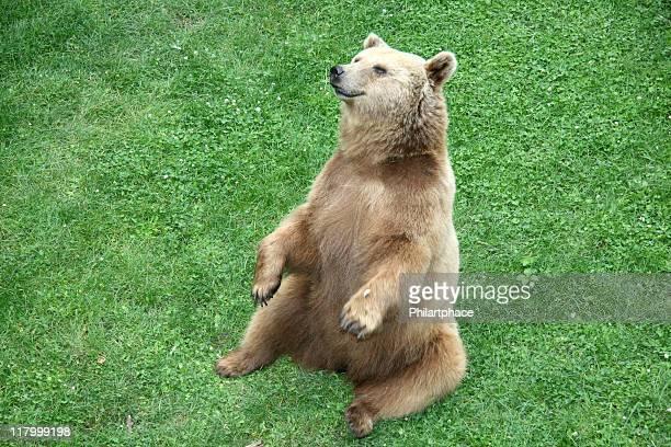 Urso-cinzento