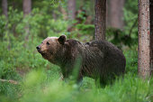 Brown bear in the forest, Estonian nature