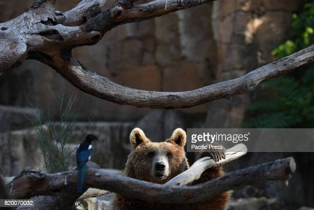 Brown bear pictured at Madrid zoo