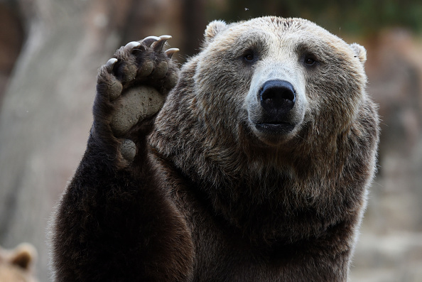 Bear keeps us humble, looking (nervously) up the food ...  |Brown Bear Food