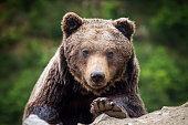 Closeup brown bear (Ursus arctos) portrait in spring forest