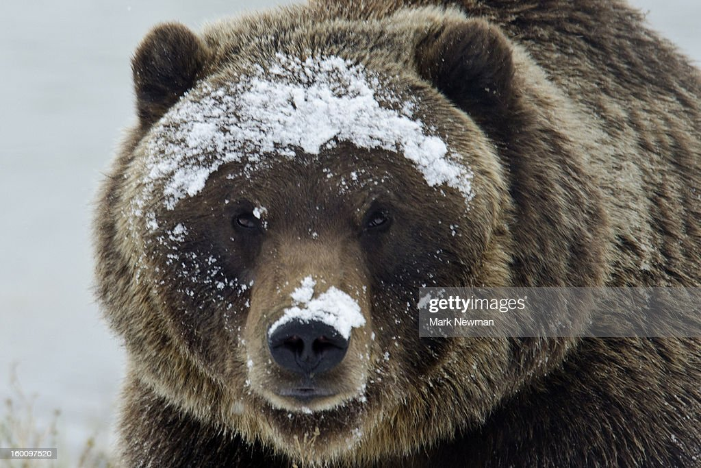 Brown bear portrait in snow : Stock Photo