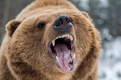 Closeup brown bear roaring in winter forest