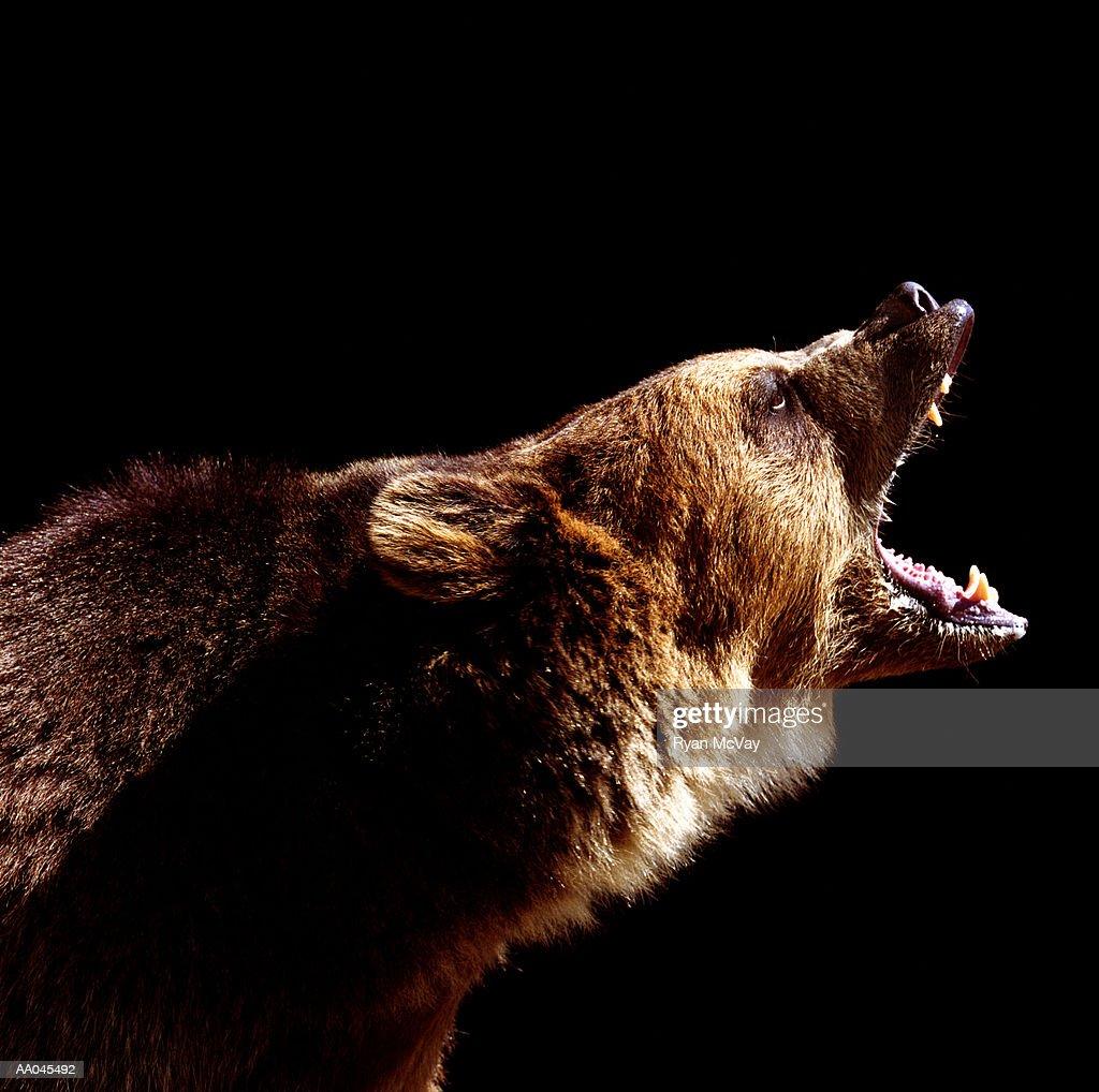 Brown bear (Ursus arctos) roaring, side view : Stock Photo