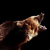 Brown bear (Ursus arctos) roaring, side view