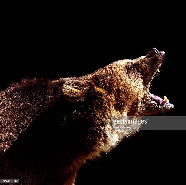 Brown bear (Ursus arctos) roaring, side view