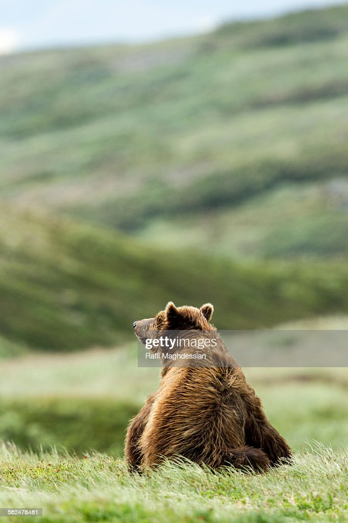 Brown Bear seated in a grass field