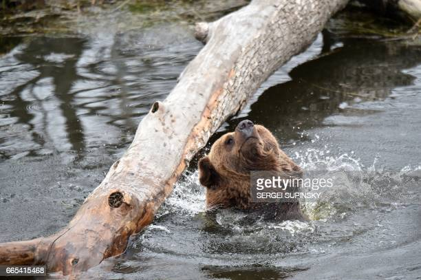 A brown bear shakes off an artificial lake in a shelter for bears rescued from circuses and private restaurants of Ukraine near Zhytomyr some 150 km...