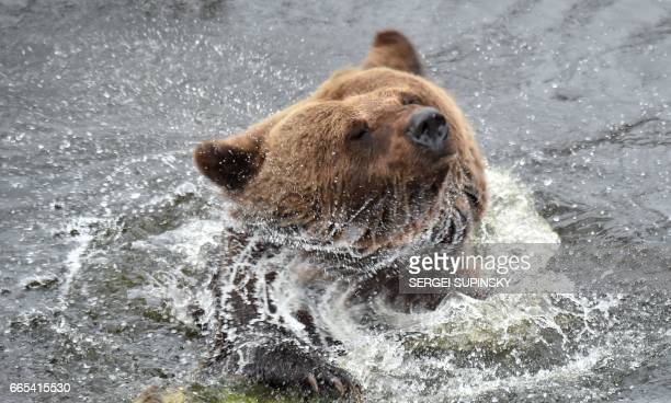A brown bear shakes off in an artificial lake in a shelter for bears rescued from circuses and private restaurants of Ukraine near Zhytomyr some 150...