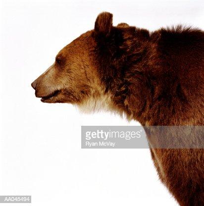 Brown bear (Ursus arctos), side view