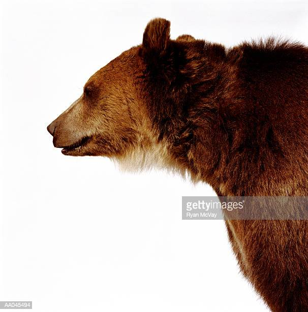 Brown bear (Ursus arctos), side view
