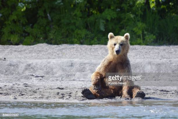 A brown bear sits down at the edge of Kurile Lake on the southern tip of the Kamchatka Peninsula in Russia on July 20 2017 Home to around 500 wild...