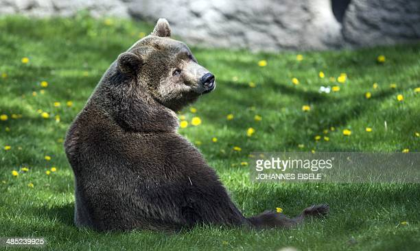 A brown bear sits in its enclosure at the Zoologischer Garten zoo on April 17 2014 in Berlin AFP PHOTO / JOHANNES EISELE