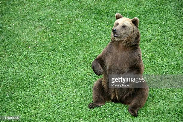 brown bear sitting in the meadow