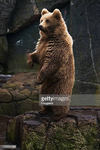 Brown bear stehend