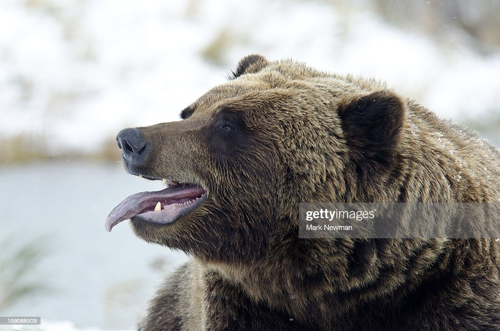Brown Bear sticking tongue out : Stock Photo