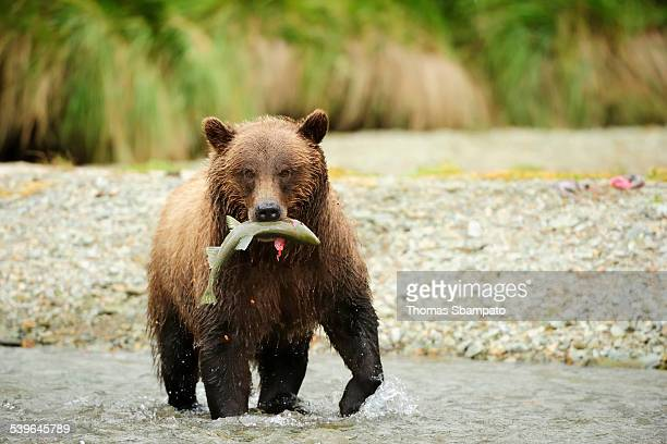 Brown Bear -Ursus arctos- crossing the river with salmon in its mouth, Katmai National Park, Alaska