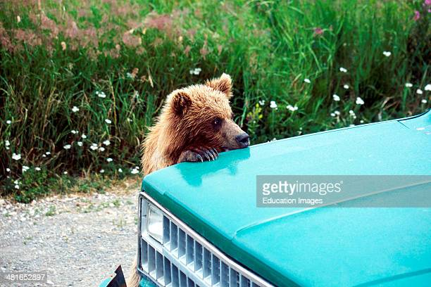 Brown Bear Ursus arctos horribilis Cub Playing on a car
