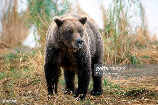 Brown bear Ursus arctos horribilis travelling along the river bank salmon accumulate in the vicinity Something has attracted his attention